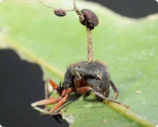 fourmi-final-cordyceps