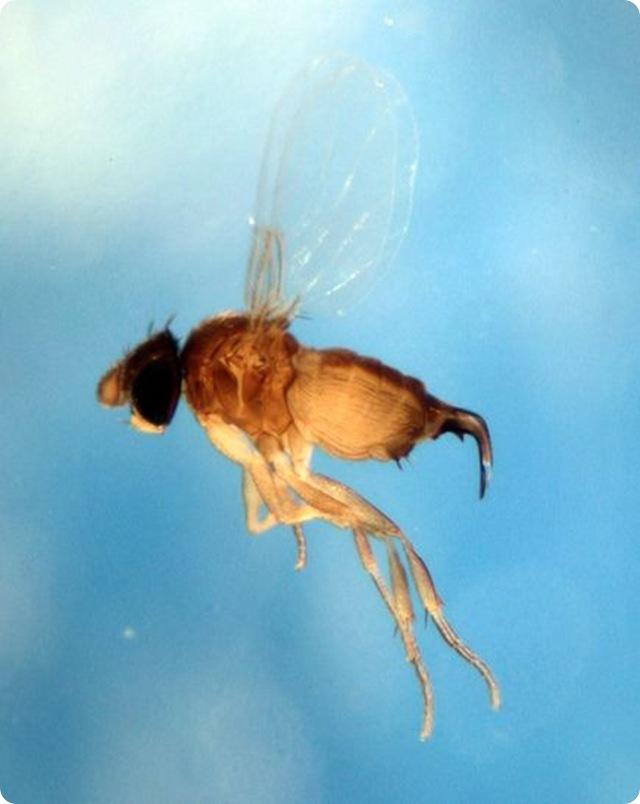 En photos : La mouche qui contrôle les fourmis avant de les décapiter.