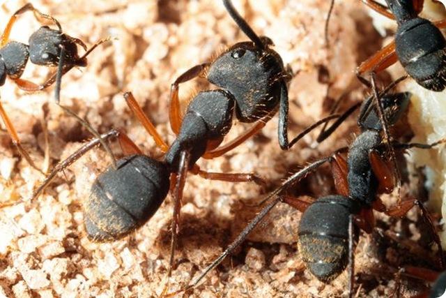 fourmis-charpentières-Camponotini