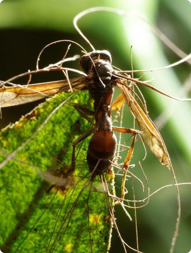guèpe-cordyceps