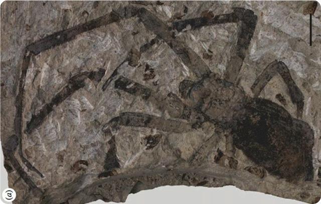 plusgros-fossil-araigne_thumb.jpg