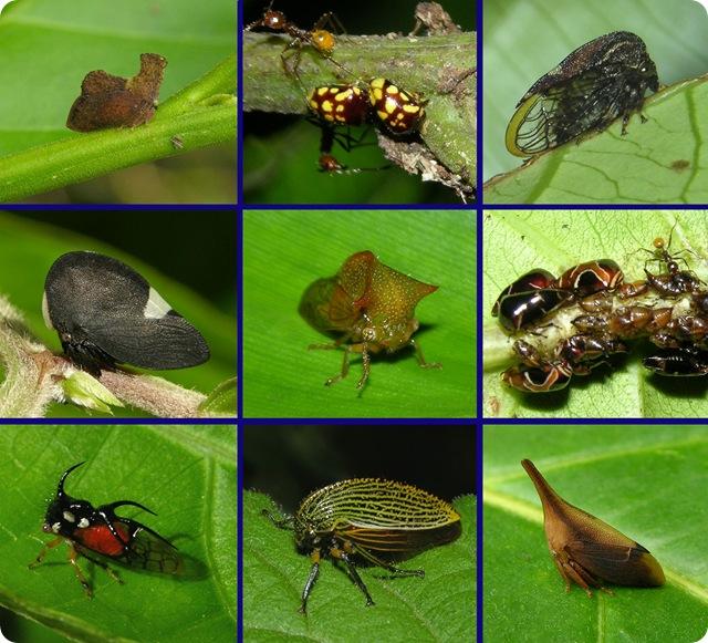 Membracidae2