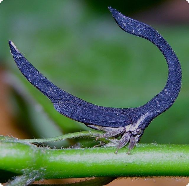 Sphongophorus (Cladonota) ballista