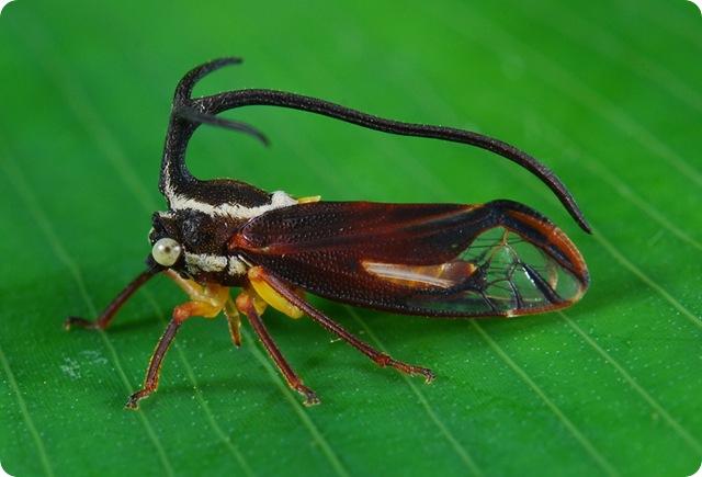 Umbelligerus