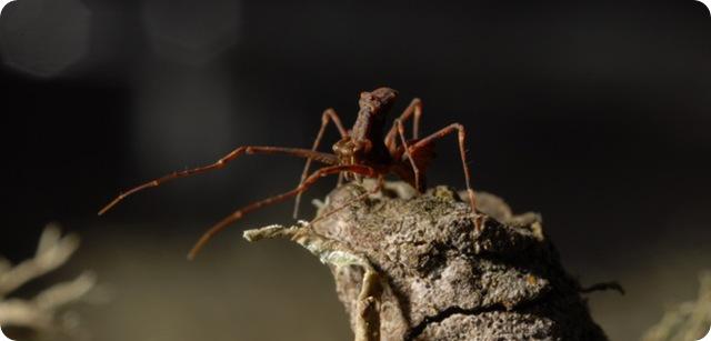 araignée-assassin