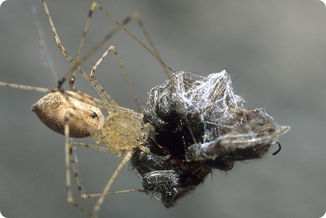 araignée-cracheuse-proie