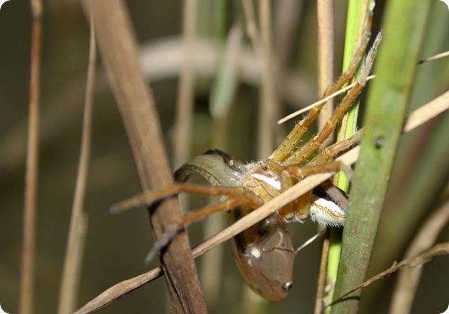 araignée-pécheuse2