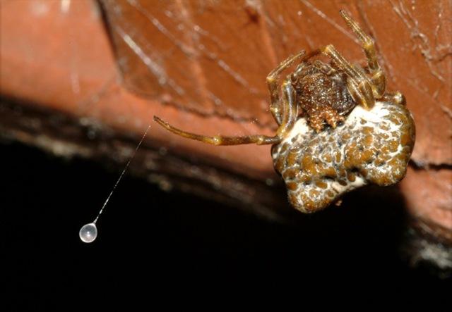 bolas-araignée