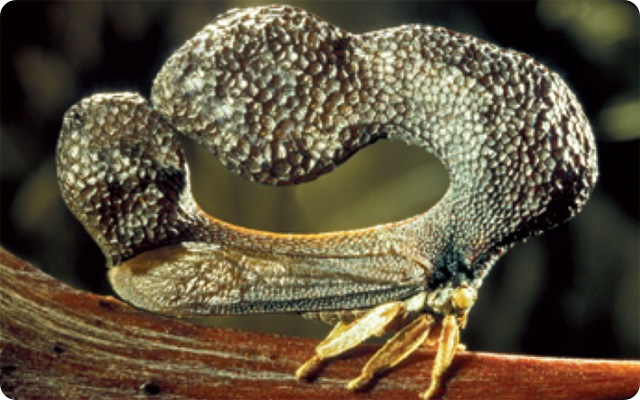 cladonota-benitezi