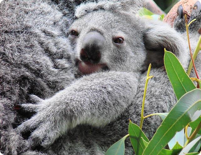 empreinte-koalas