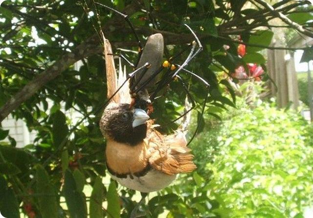 golden_orb-oiseaux