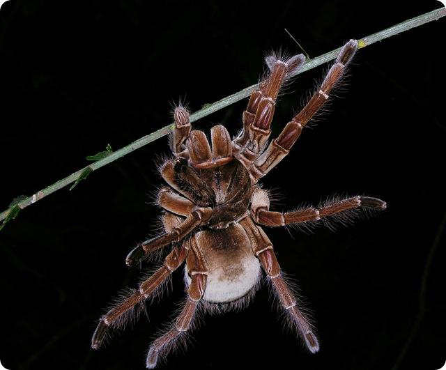 """Spiderman n'en fait pas autant : les Tarentules grimpent les surfaces lisses en tirant de la soie de leurs """"pieds""""."""
