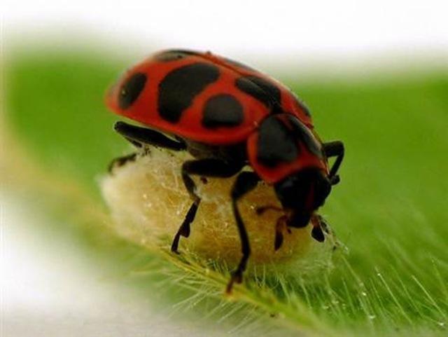 110621-ladybug-cocoon-.grid-6x2_thumb.jpg