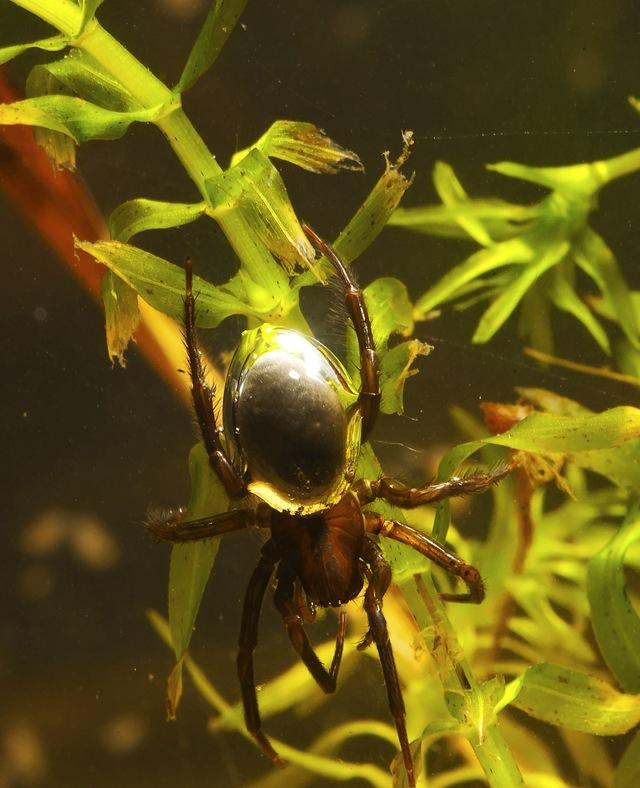 Argyroneta aquatica3