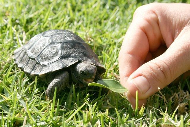 Les tortues. Tortues-galapagos2_thumb