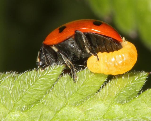 coccinelle-parasite-abeille1