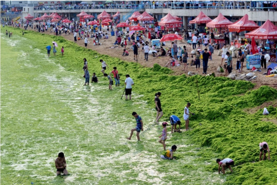 Images du jour une mer d algues vertes en chine for Algues vertes dans piscine
