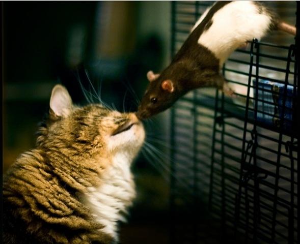 chat-rat-Toxoplasma-gondii.jpg