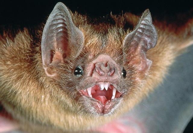 vampire-chauve-souris
