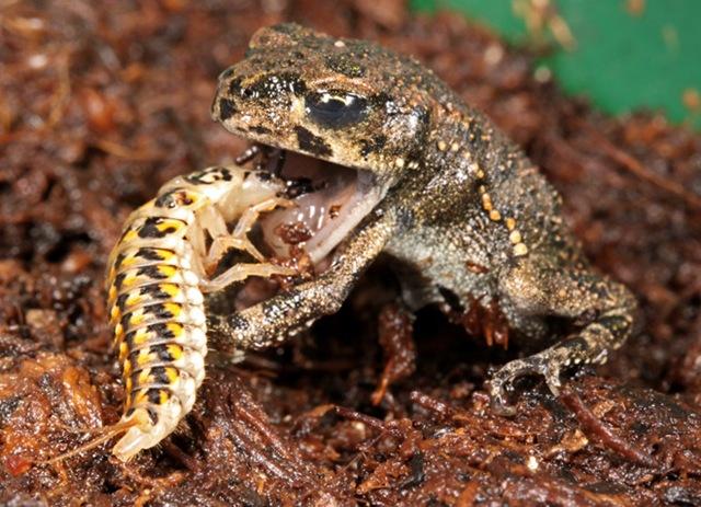 epomis-coloptre-grenouille_thumb.jpg