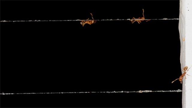 Des araignées enduisent leurs toiles d'un produit chimique anti-fourmis.