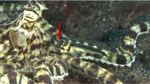 Thaumoctopus-mimicus_thumb.jpg