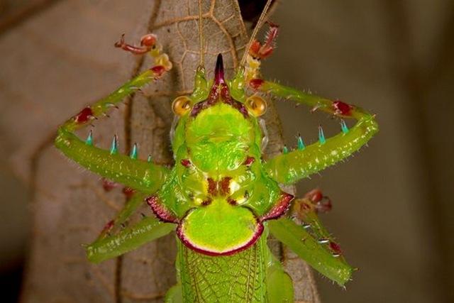 conehead-katydid