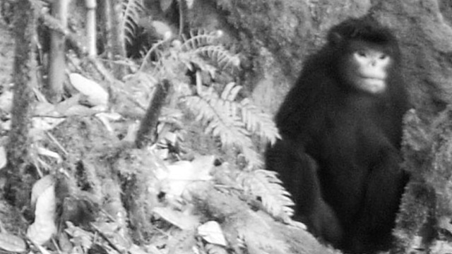 strykeri-Rhinopithecus1_thumb.jpg