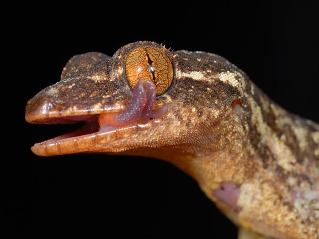 turnip-tailed-gecko