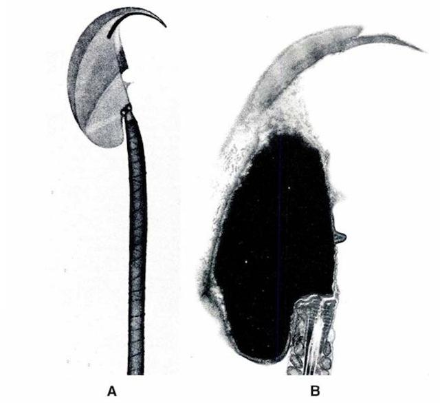 Mus musculus-sperm