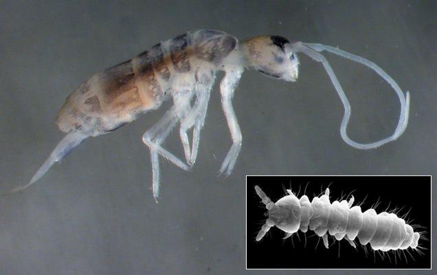 Plutomurus ortobalaganensis