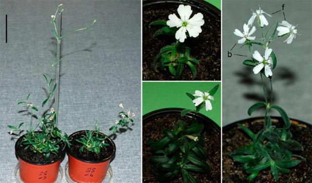 Silene-stenophylla-rgnre_thumb.jpg