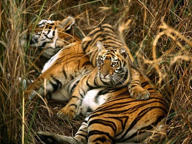 Tigre-bengals