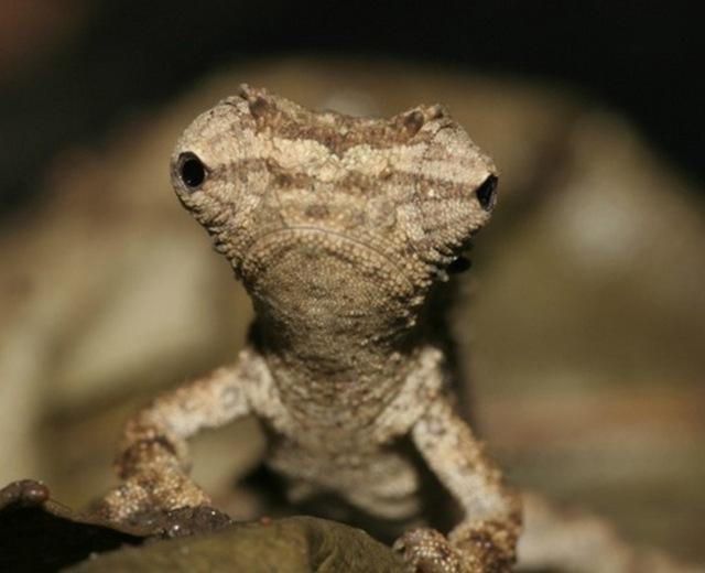 caméléon-Brookesia4