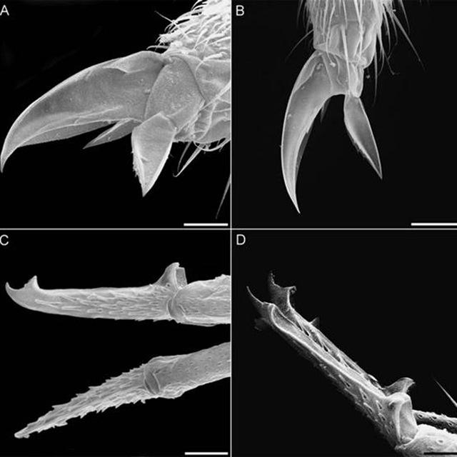 ortobalaganensis Plutomurus-pinces