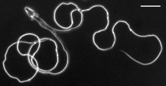 sperm-Graphoderus liberus