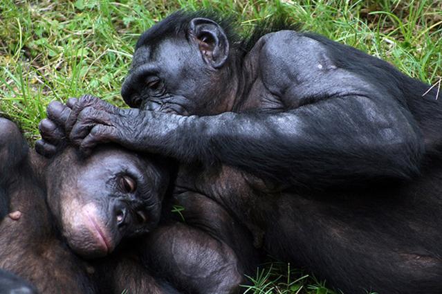 Les singes ont des rapports sexuels