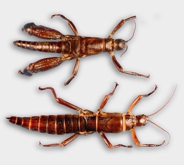 Le taxon Lazare du King Kong des insectes est vraiment revenu du royaume des morts