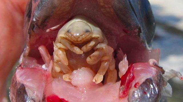 parasite-isopode-langue-poisson_thumb.jpg