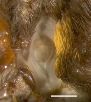 Morpho peleides-oreille