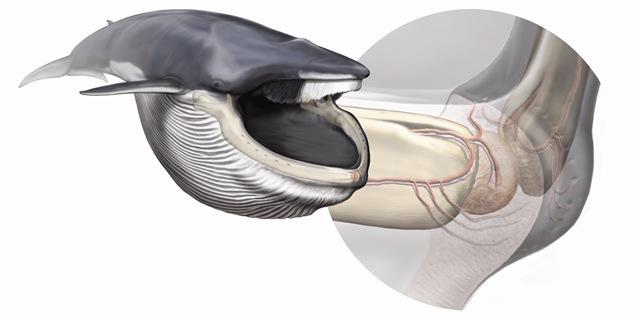 bouche-baleine4