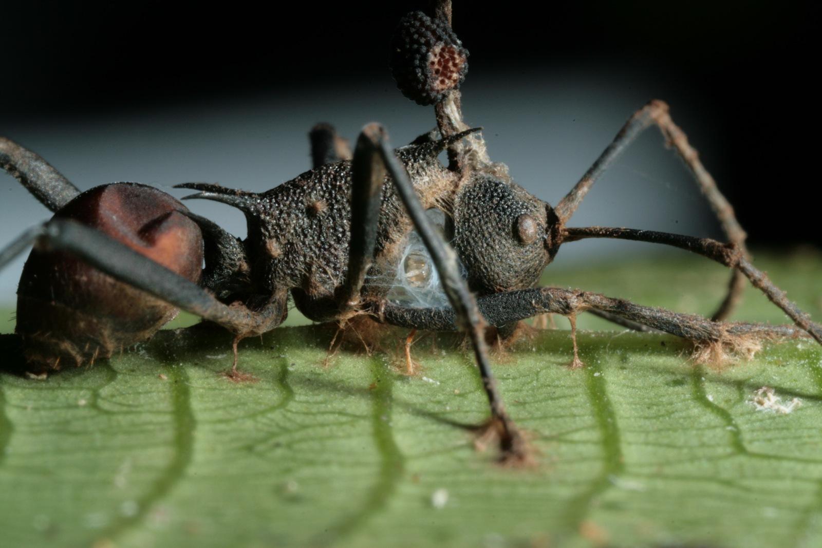 un hyperparasite vient en renfort dans la lutte contre le champignon zombificateur de fourmis. Black Bedroom Furniture Sets. Home Design Ideas