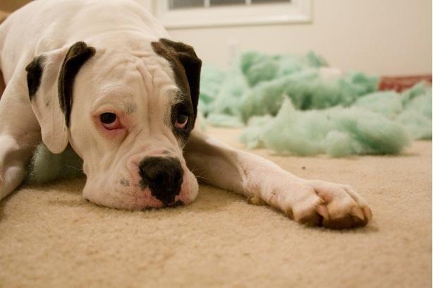 Les chiens ressentent-ils la culpabilité ? - GuruMeditation