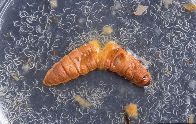 Heterorhabditis-bacteriophora-larve-insecte_thumb.jpg