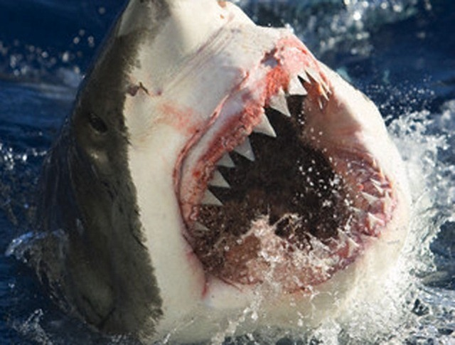 dents-requin