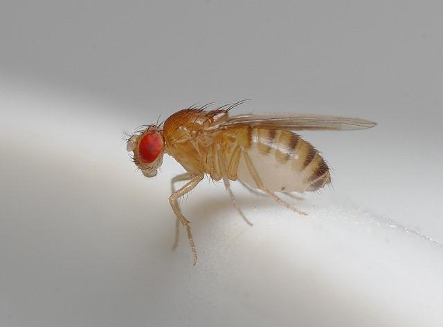 mouches des fruits16