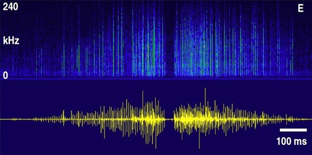 spectrogramme-oscillogramme-mouche-copulation