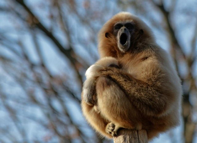Gibbon-chantant2