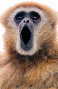 Gibbon-chantant