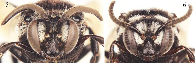 Thyreus denolii-mâle-femelle